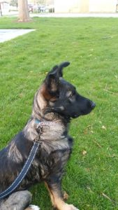 Pending adoption - Nova is a 5 month old German Shepherd pup. She is good with dogs and cats.