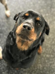 Ava is approximately 6-7 years old. She loves playing with other dogs. She is potty trained and walks well on leash. She is bonded to Bollo and acts as his seeing eye dog so needs to be adopted with him.