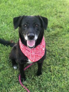 Lassie is approximately 7 years old. She is full of life and loves to play with other dogs. She is a very intelligent dog and learns new things quickly. She is polite in the house and enjoys riding in the car.