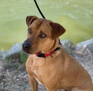 Pending adoption...Leo is 2 years old. He loves his human and bonds deeply. He is good with other dogs with the proper introduction. He can be leash reactive on walks and is working with a trainer on this. His ideal home would be an active one. He is house trained, potty trained, neutered, up to date on vaccines.