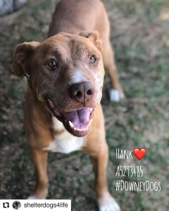 Hank is approximately 6 years old. He is a mellow guy but still has some spunk when he plays with his dog friends. He enjoys being around his human and would do best in a home where his human is either retired, or works from home. No cats for this boy.