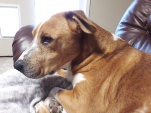 Adoption pending. Bruce is approximately 3-4 years old. He is a very happy dog who enjoys playing with his dog friends or a nice game of catch. He is smaller in stature, approx 17.5 inches tall and 52 lb. He is house trained. He does bark when he is excited and doesn′t care for cats or squirrels.