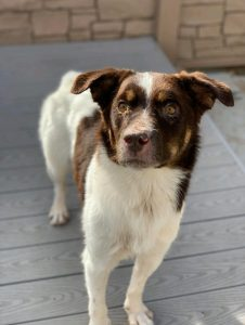 Kodi is a 1 1/2 year old boy. He has a medium energy level but does occasionally have the zoomies He loves to play and run. He is dog friendly, house trained, crate trained. He enjoys doggy daycare for playtime with his friends. He does have a skin condition that is easy to care for.