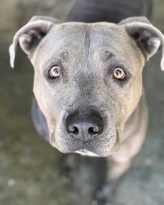 Chance is approximately 5 years old. He is a very mellow fellow. He is dog friendly. He enjoys laying in the sun, going for walks, and playing in the yard. He is good on a car ride and is crate trained. He knows how to use the doggy door to go outside to potty. He enjoys doggy daycare.