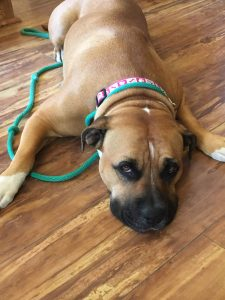 Nadia is approximately 3 years old. She is a sweetheart. She is good with dogs, cats, and people. She is crate trained and house trained. She pulls a little while on leash so needs work on this. She loves to just chill out with her humans. Nadia is looking for a foster or foster to adopt home.