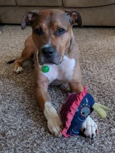 Charlie is approximately 5 years old and approximately 60 lbs. He is great in the home and is house trained. He enjoys going on walks and runs. He is however leash reactive and working with a trainer to remedy this. He is available for foster to adopt so our trainer can continue to work with him in his new home.